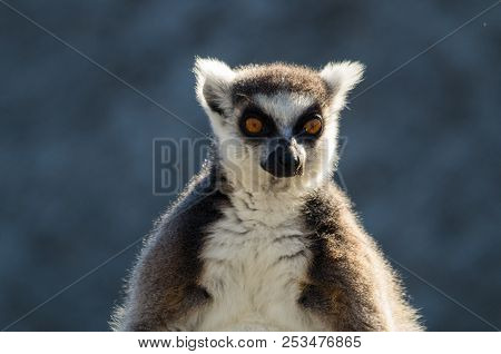 Ring-tailed Lemur, Lemur Catta, Are Primates Native To The Island Of Madagascar In Africa.