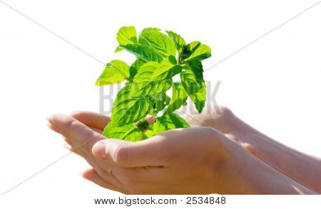Leaf In Hands