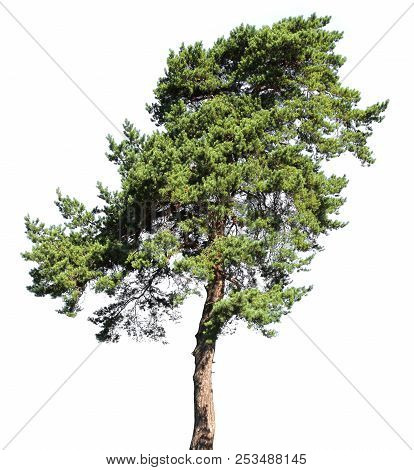Pine Conifer Tree, Isolated On White Background