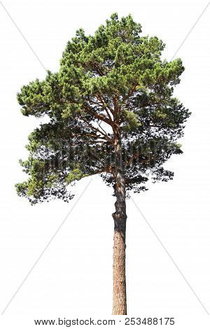 Pine Tree Isolated On White Background. Coniferous Forest