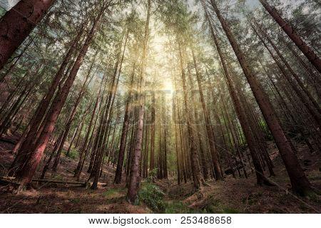 Sunset In A Deep Dark Conifer Forest