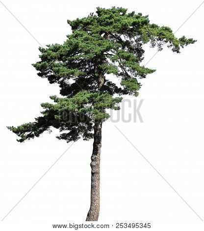 Scotch Fir Conifer Tree, Isolated On White Background