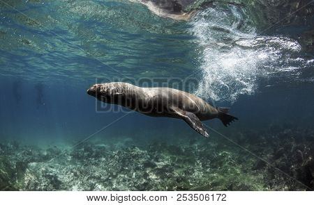 Galapagos Sea Lion (zalophus Wollebaeki) Swimming Fast Underwater