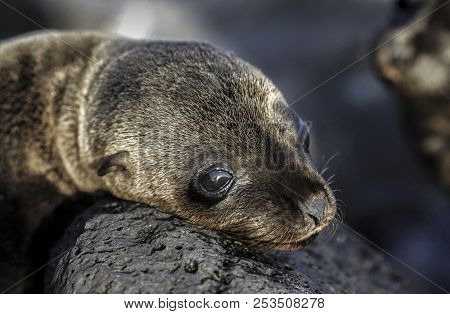 Baby Galapagos Sea Lion (zalophus Wollebaeki) Sunbathing On Rocks