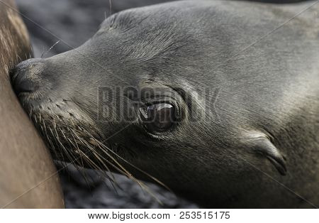 Baby Galapagos Sea Lion (zalophus Wollebaeki) Drinking Milk From Mother