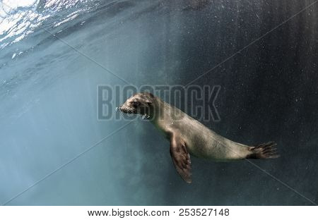 Young Galapagos Sea Lion (zalophus Wollebaeki) Underwater