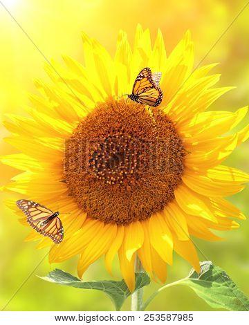 Sunflower and monarch butterflies (Danaus plexippus, Nymphalidae) on blurred yellow sunny background