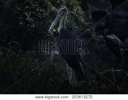 Lesser Adjutant Stork Standing In The Forest, Mysterious Concept