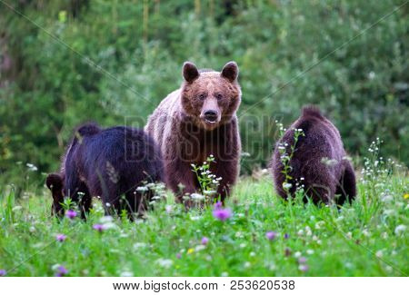 Carpathian brown bear - Mother bear and her two cubs in summer field