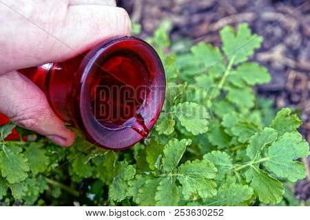 Watering A Green Plant From The Neck Of A Red Glass Bottle In His Hand