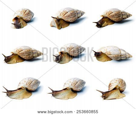 Set Of A Giant African Snail. Giant African Snail Isolated On White Background. Achatina Fulica
