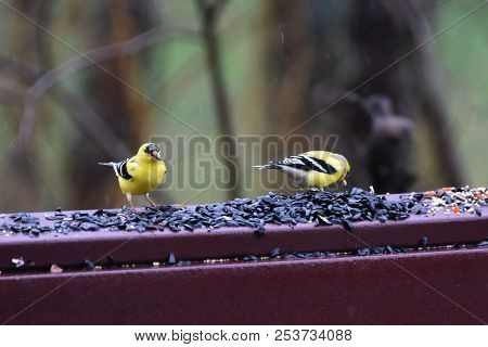 A Pair Of Two Male American Goldfinch Chordata Black And Yellow Eating Birdseed Sunflower Seed In A