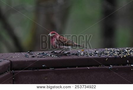 House Finch Bird Red Eating Birdseed Sunflower Seed On A Backyard Deck Porch