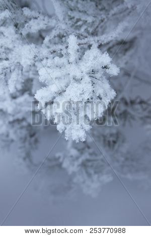 Winter Nature, Snow And Snowy Fir Tree  In Forest