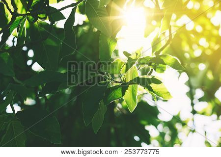 Green Leaves In The Sunlight In A Sunny Day In A Forest. Nature In Dolomites, Italy, Europe. Image O