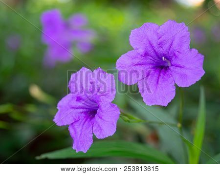 Ruellia Tuberosa, Acanthaceae , Ruellia Squarrosa And Green Background.(with Free Space For Text)