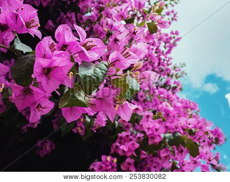 Nyctaginaceae. Bougainvillea glabra purple flowers on the beautiful big tree in botanical garden poster