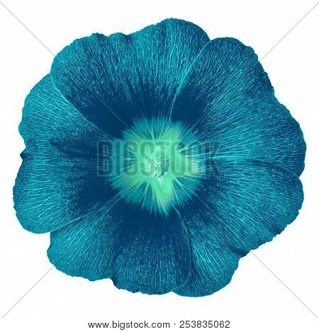 Cerulean Cyan Flower Lavatera Isolated On White Background. Flower Bud Close Up.  Element Of Design.