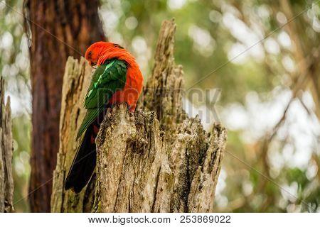 Australian King-parrot Alisterus Scapularis Parrot Grooming Itself On A Tree