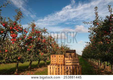 Crates In Orchard Full Of Apple Trees With Ripe Apples Ready For Harvest