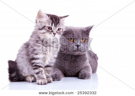 Two Curious British Cats Looking To A Side
