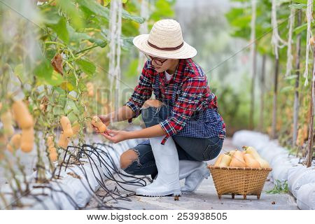 Smart Farming Young Woman Her Harvesting A Butternut Squash In Farm Or Checking Quality Of Butternut