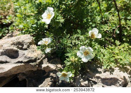 Florescence Of Dasiphora Fruticosa In The Rock Garden