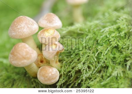 Small Mushroom Toadstools (armillaria Tabescens).
