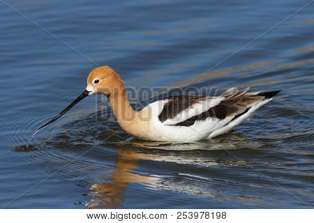 The American Avocet Is A Large Wader In The Avocet And Stilt Family, The Avocet Spends Much Of Its T