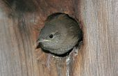 Baby House Wren (troglodytes aedon) getting ready to fly from the nest poster