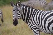 A zebra mare grazes in Masai Mara Kenya poster