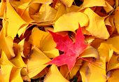 A red maple leaf in the middle of many of yellow folium ginkgo poster