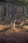Gray wolf in forest with fall colors. Northern Minnesota poster
