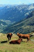 Herd of brown cows resting peacefully at the top of the Galibier pass France poster