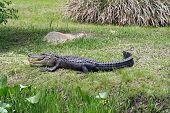 Alligator at the Okefenokee Swamp in Waycross Georgia poster