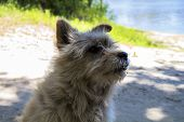 Pooch dog. Ash-colored. Fuzzy. On the river bank poster