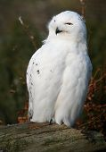 Portrait of a Snowy Owl - also know as Arctic Owl, Great White Owl or Harfang. poster