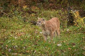 Adult Male Cougar (puma Concolor) Stands On Ground Looking Left - Captive Animal