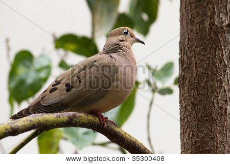 Mourning Dove Pearched In A Tree