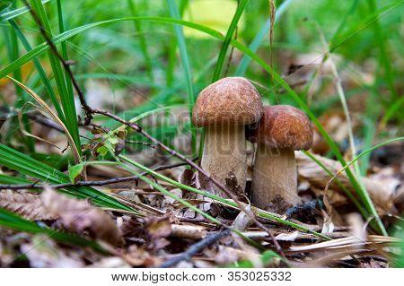 Mushroom Family Of Boletus Mushroom In The Wild. Porcini Mushroom Grows On The Forest Floor At Autum