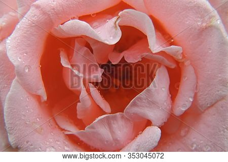 The Beautiful Pink Flower In All Its Splendor In A Macro Photo