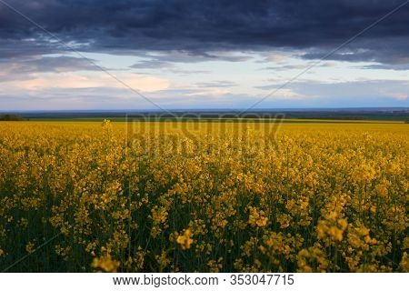 beautiful sunset over yellow flowers rapeseed field, bright springtime landscape, dark sky, clouds and sunlight