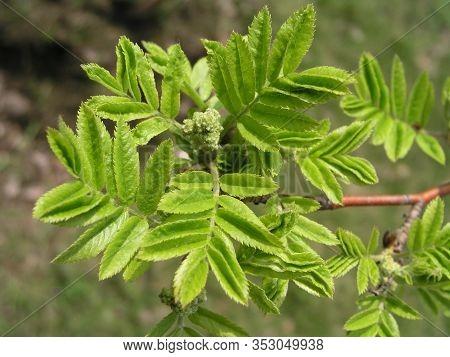 European Rowan Sorbus Aucuparia , Rowan And Mountain-ash, And Amur, European Mountain-ash, Quick Bea