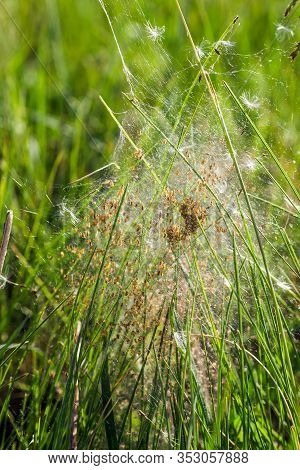 Grass Spiders Nest. Arachnophobia, Disgusting And Scary Concept. Insects Phobia, Horror, Fear And Di