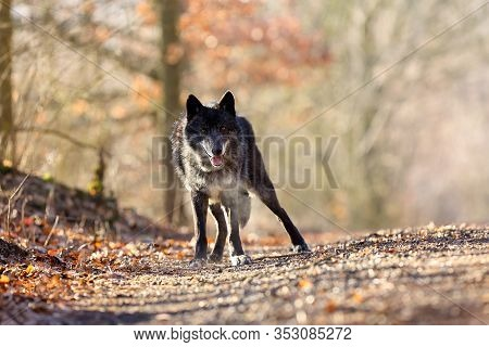 The Northwestern Wolf (canis Lupus Occidentalis) Standing On The Road. The Wolf (canis Lupus), Also