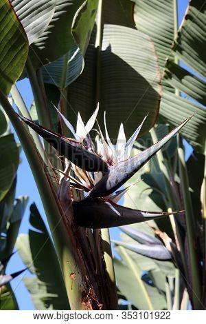 Giant Bird of Paradise Plant and Flowers. Bird of Paradise flowers come in various sizes and types. This is a Giant Bird of Paradise Flower.