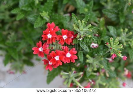 Verbena Obsession Cascade Red With Eye Flowers - Latin Name - Verbena X Hybrida Obsession Cascade Re