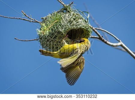 Southern Masked Weaver Yellow Bird Building A Nest, South Africa.