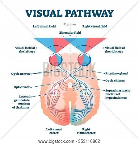 Visual Pathway Medical Vector Illustration Diagram. Eye And Brain Anatomical System With Optic Nerve