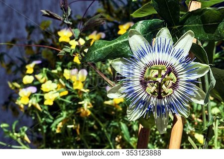 Beautiful Blooming Tropical Flower Passion Or Passiflora